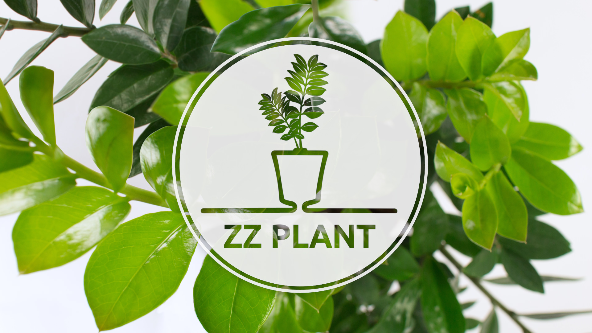 How To Repot Zamioculcas In Arte Green Stpatrick Special Edition How To Plant By Santino How To Plant By Santino Gardening Blog Shop